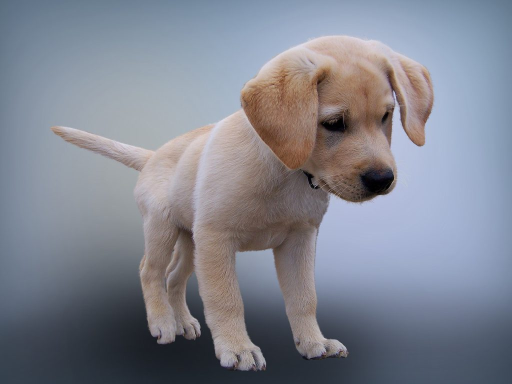 labrador puppy training