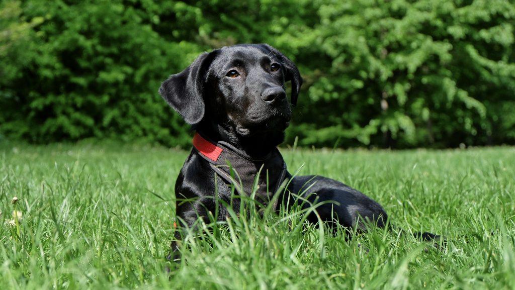 hondenmand labrador