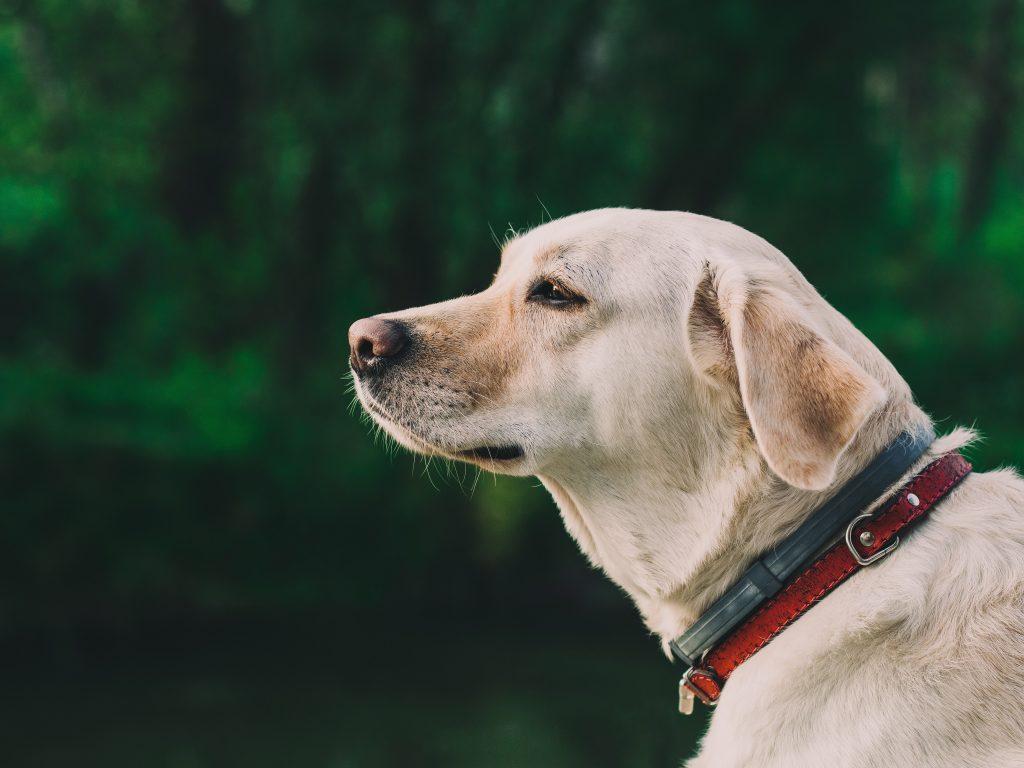 Halsband labrador