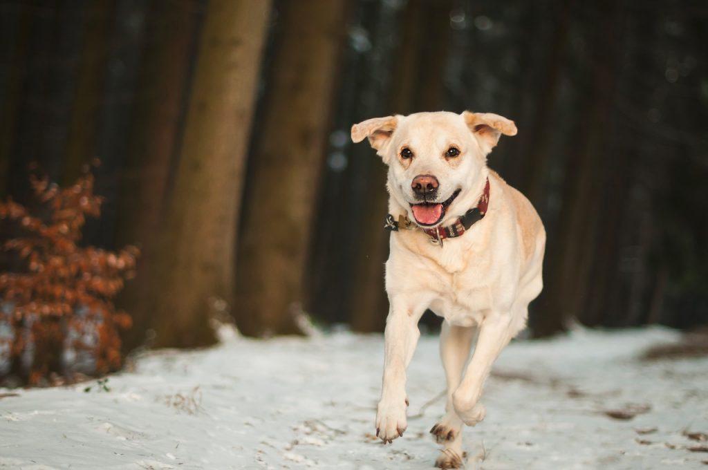 et complete handboek voor een gezonde gelukkige en gehoorzame labrador