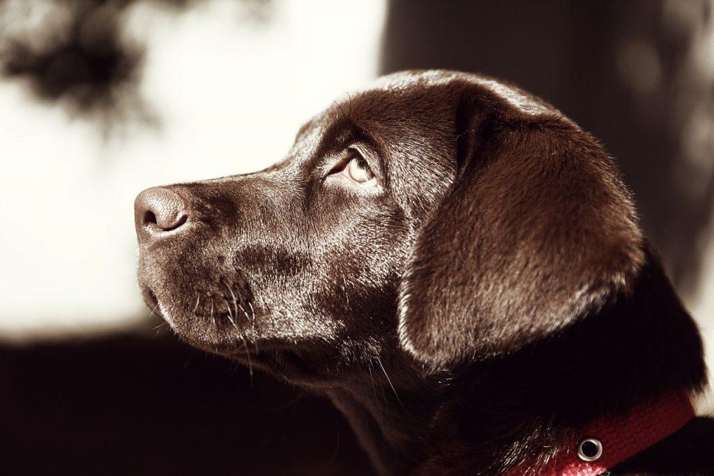 bruine labrador pup opvoeden