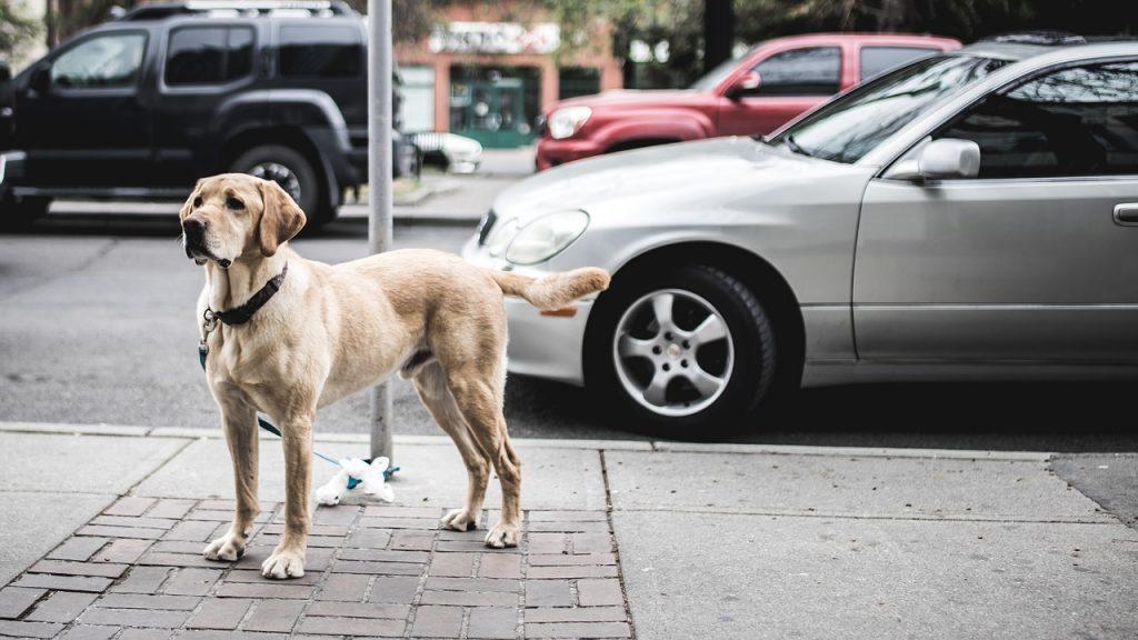 Labrador autobench
