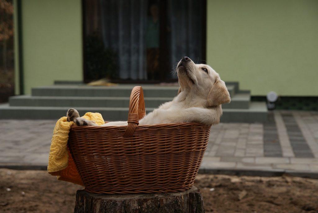 labrador bench