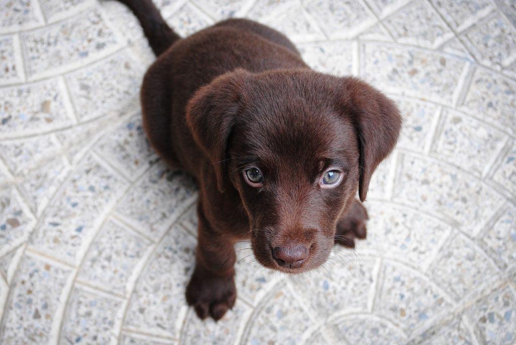 bruine labrador pup