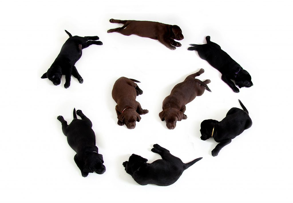 labrador puppy kopen