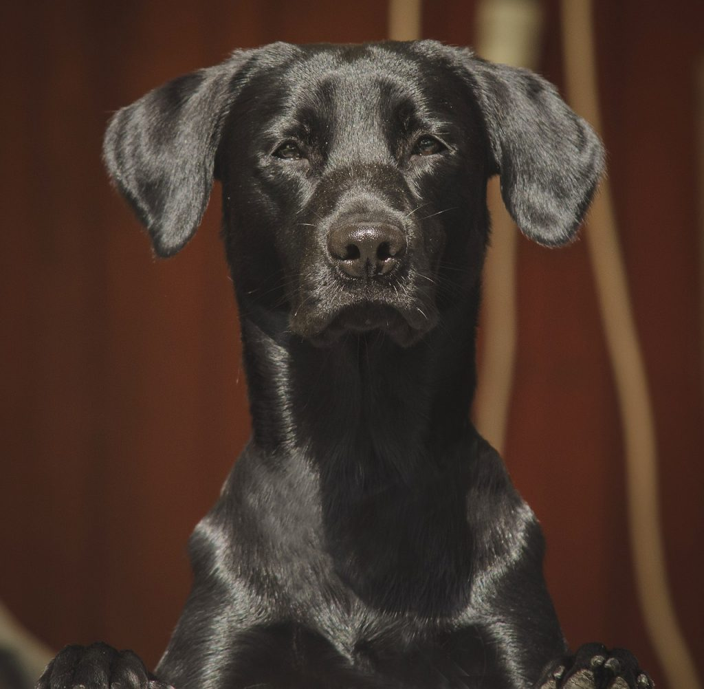 kortharige labrador